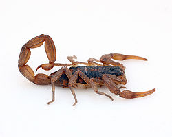 Centruroides sp. - Photo courtesy: Wikipedia