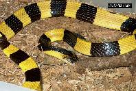 Banded Krait - Photo courtesy - Wikipedia