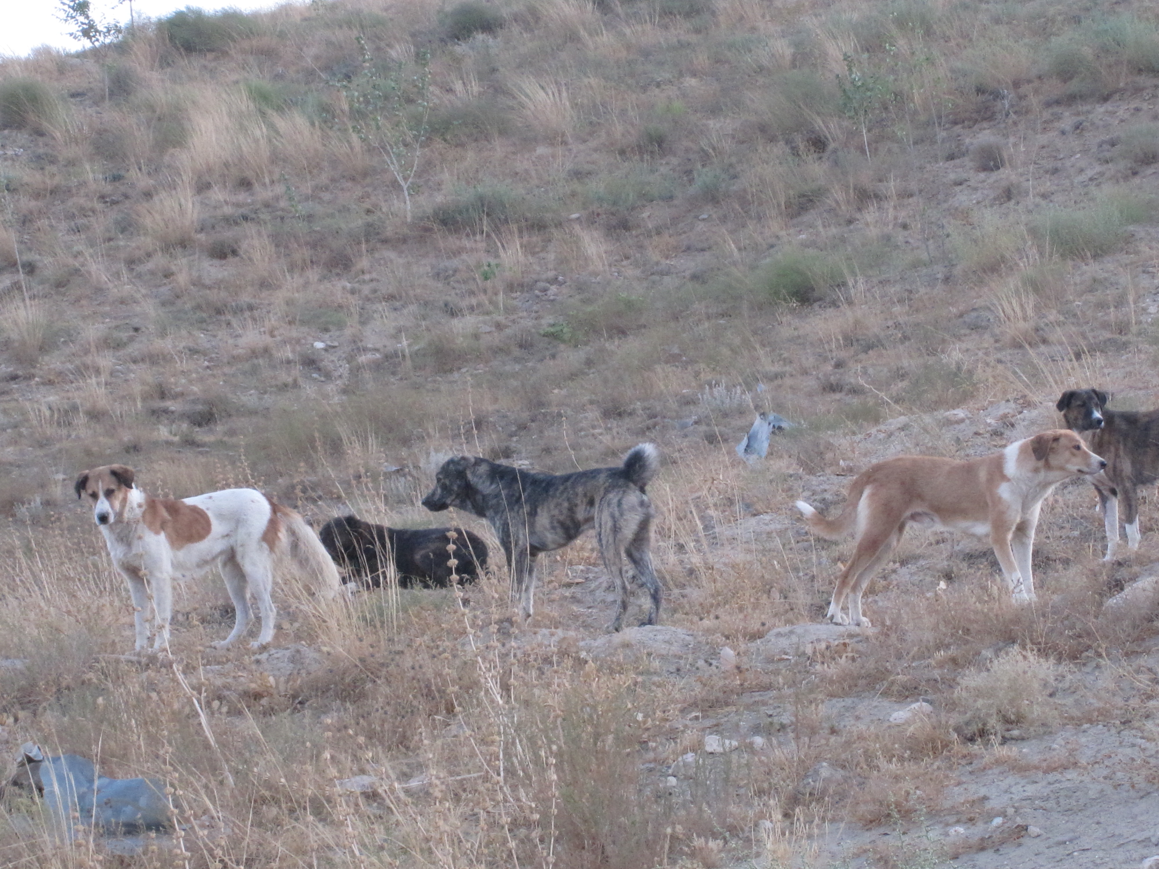 Pack Of Feral Dogs | www.pixshark.com - Images Galleries ...