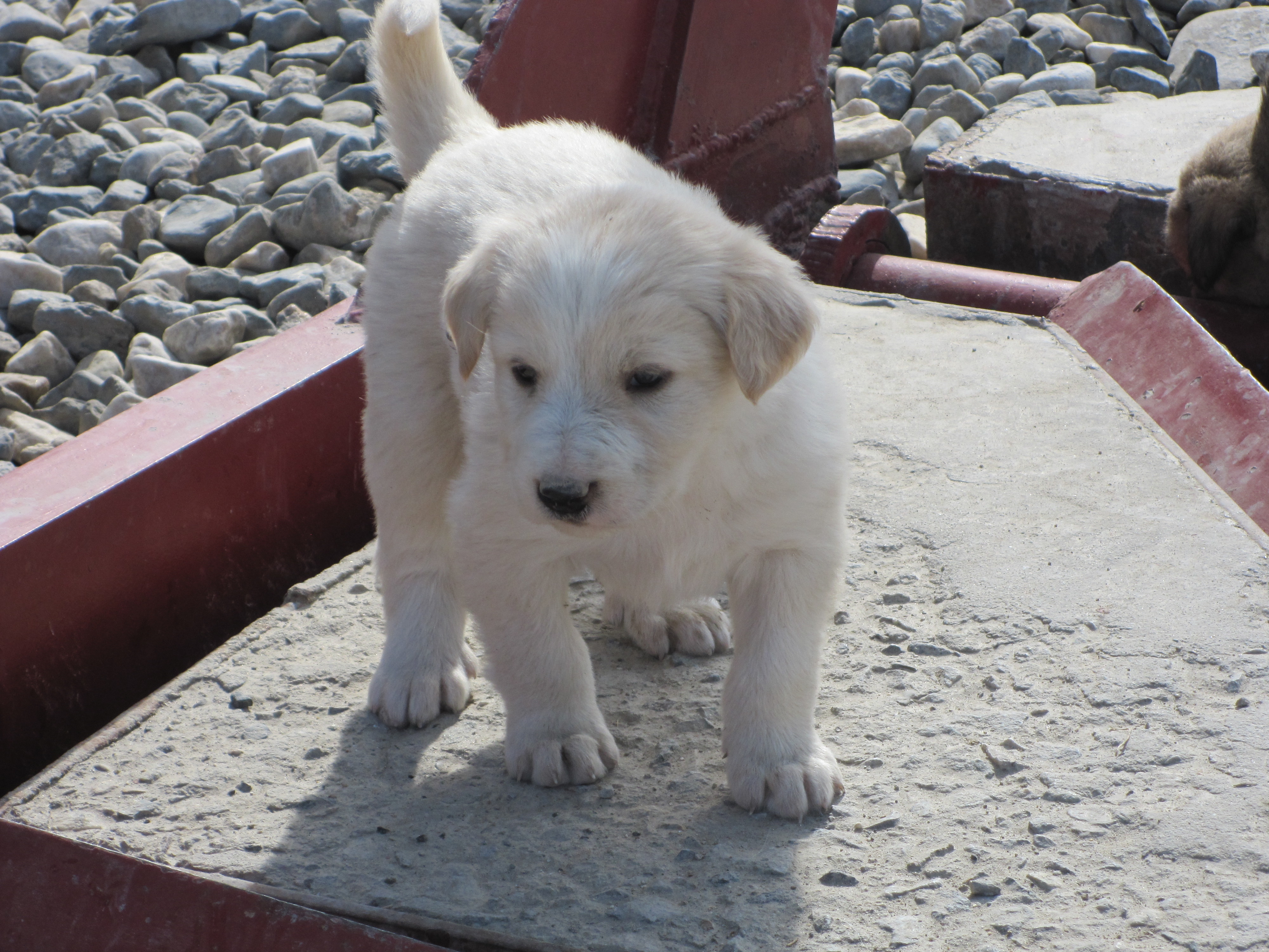 Good Afghanistan Army Adorable Dog - adorable-white-puppy1  Collection_921889  .jpg